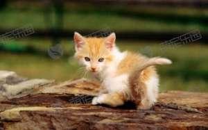 为什么说猫有很多条命?